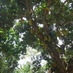 Jaqueira localizada em terras da Usina Seresta carregada de frutos anima os trabalhadores