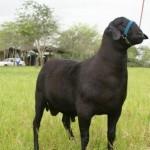 Leilão de Genética terão os melhores exemplares da ovinocaprinocultura