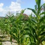 Plantio de milho verde aumenta espaço cultivado no Nordeste