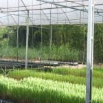 Novas variedades de cana-de-açúcar desenvolvidas no Ceca voltadas buscam mais etanol a partir da biomassa