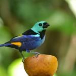 Pássaro Pintor Verdadeiro na Mata Atlântica, em Murici