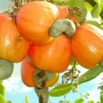 Cultivo do caju se expande no sertão alagoano
