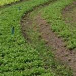 Milho e feijão serão cultivados na entressafra da cana