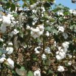 Algodão apresenta boa rentabilidade para os produtores