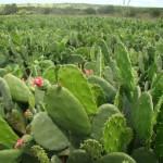 Palma será uma das culturas beneficiadas pela biofábrica