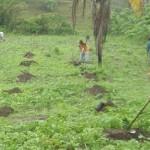 Agricultores realizam plantio de grãos no município de São Luiz do Quitunde
