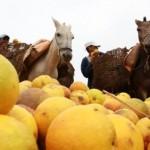 Produtores de Santana do Mundaú comemoram a boa safra de laranja mimo