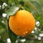 Região do Vale do Mundaú é destaque na produção de laranja lima
