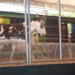 Leilão de muares ganha mais espaço na Expoagro