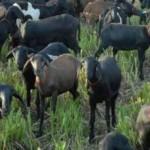 Ovinocaprinocultura é destaque na Expoagro