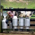 Produtores alagoanos de leite receberão um remuneração melhor