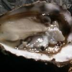 Cultivo de ostra também pode entrar na cadeia produtiva do turismo