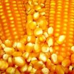 Sementes de milho serão distribuídas entre os agricultores