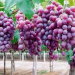 Cultivo de uva se expande nos perímetros irrigados da Codevasf