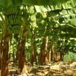 Produção de banana se expande no Nordeste