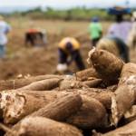 Agreste alagoano se destaca como produtor de mandioca