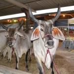 Animais da raça Guzerá também estarão presentes na Expoagro
