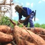 Cícero Laurentino, que aprendeu a trabalhar na terra com raízes, com os ensinamentos deixados pelo seu pai