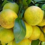 Laranja Lima é uma fruta rica em vitamina C