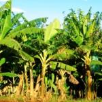 Cultivo de banana se expande na Região do Vale do Mundaú