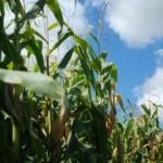 Plantio de milho deve se expandir na região do Vale do Paraíba