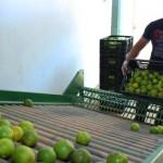 Fábrica de laranja lima ganha ajuda pequeno produtor rural