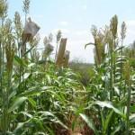 Plantio de sorgo em Alagoas é referência regional