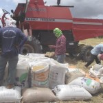 Colheita da safra de arroz nos perímetros irrigados do Baixo São Francisco