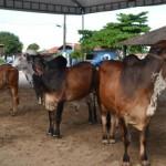 Julgamento dos animais na IV Expogenética Alagoas