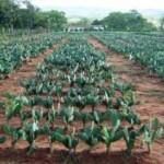 Palma forrageira é a alternativa para alimentar o rebanho bovino no sertão