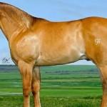Cavalo da raça Quarto de Milha