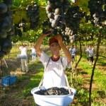 Fruticultura, em particular a uva, hoje é responsável pelo fortalecimento da economia