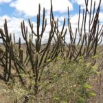Caatinga é um bioma única no Nordeste brasileiro que precisa ser preservado