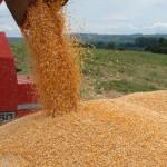 Milho está chegando ao produtor alagoano com preço elevado