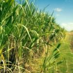 Subvenção da cana-de-açúcar beneficiará produtores nordestinos