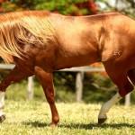 Cavalos da raça quarto de milha
