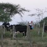 Novas matrizes de vacas leiteiras vão ampliar a produção leiteira