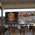 Vacas da raça gir leiteira possuem alta produção