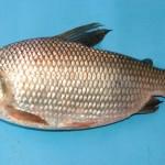 Espécie de peixe Curimatã reaparece no Baixo São Francisco
