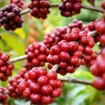 Cultura do café é a nova aposta do governador Renan Filho para agricultura alagoana