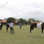 Cavalos da raça Quarto de Milha foram julgados