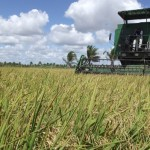 Colheita de arroz no Perímetro Irrigado de Itiúba