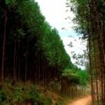 Plantio de eucalipto avança na região de encosta do Estado de Alagoas