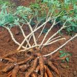 Cultivo de mandioca destaca-se na região do Agreste