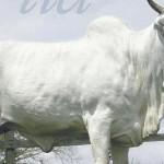Vaca da raça Nelore da marca IBC