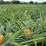 Cultivo de abacaxi avança no agreste alagoano