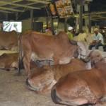 Animais da raça gir são destaques na Expoagro