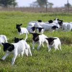 Criação de ovinos da raça Dorper expande em Alagoas