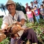 Plantio de macaxeira anima família de agricultor