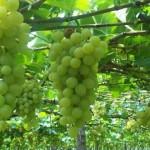 Produção de uva pode ser altamente viável no sertão alagoano
